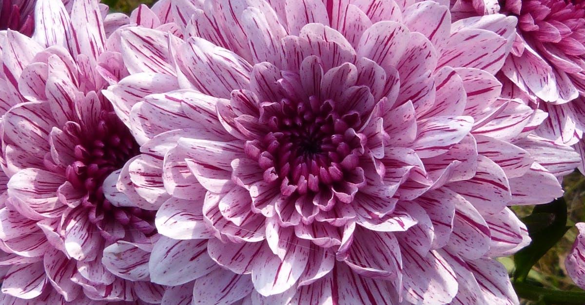 purple cluster petal flower free stock photo