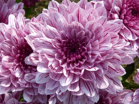 Shallow focus photography of pink flowers free stock photo purple cluster petal flower mightylinksfo