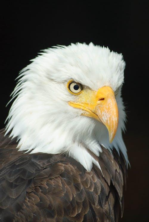 Ilmainen kuvapankkikuva tunnisteilla eläin, höyhenpeite, kotka, lähikuva