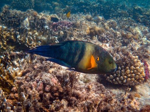 Ilmainen kuvapankkikuva tunnisteilla eksoottinen, kala, korallit, luontokuvaus