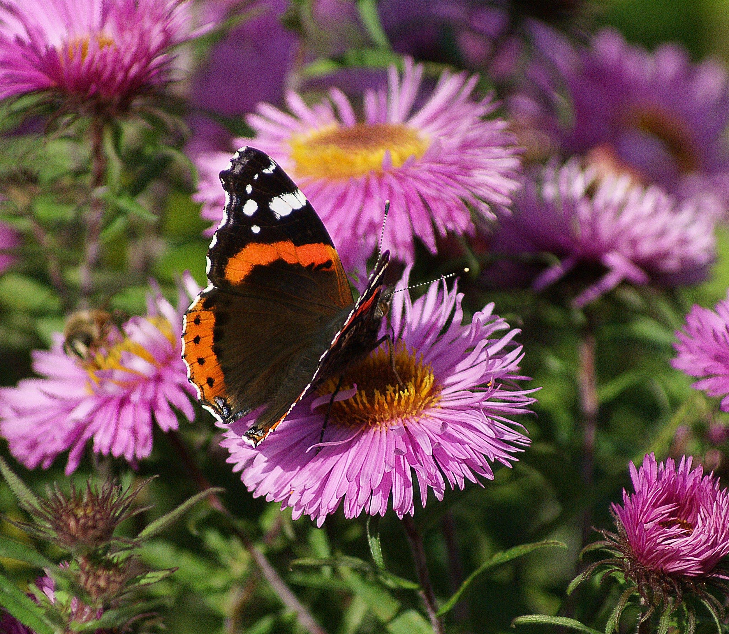 Black Orange White Butterfly on Purple Multi Petal Flower during Daytime