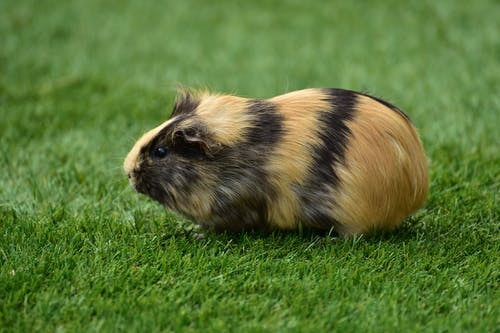 Black and Brown Guinea Pig Sitting on Grass