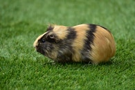 animal, grass, rodent