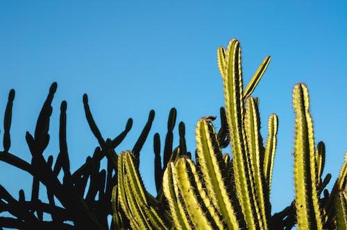 Immagine gratuita di all'aperto, azzurro, bel cielo, cactus