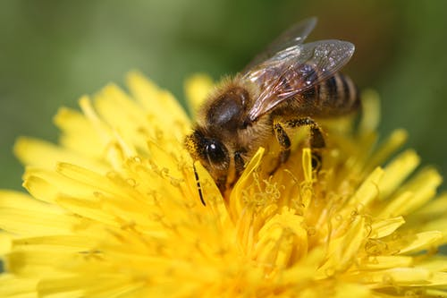 Free stock photo of bee, bees, biology, flower