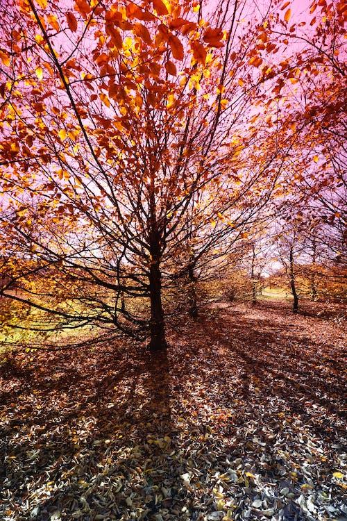Free stock photo of autumn, nature, tree