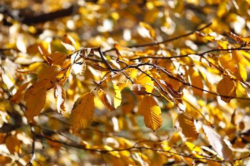 Free stock photo of autumn, dry leaves, leaves, ocher