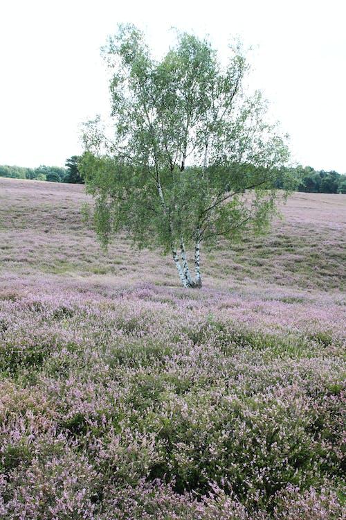 Foto stok gratis alam, bidang, bidang bunga, Birch
