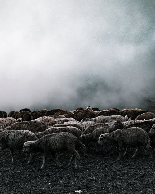 Herd of Sheep on Field