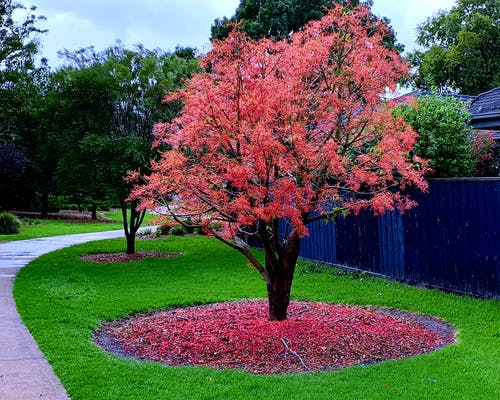 Free stock photo of red tree