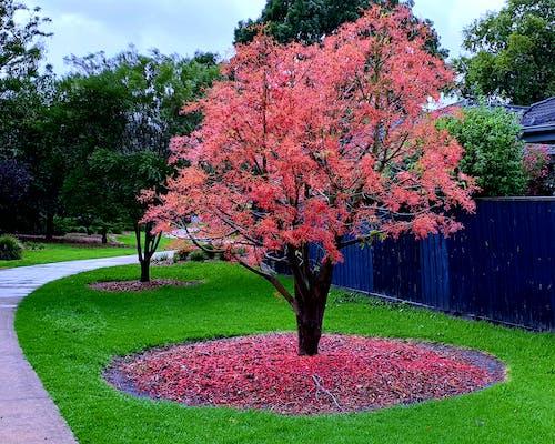 Foto d'estoc gratuïta de arbre vermell