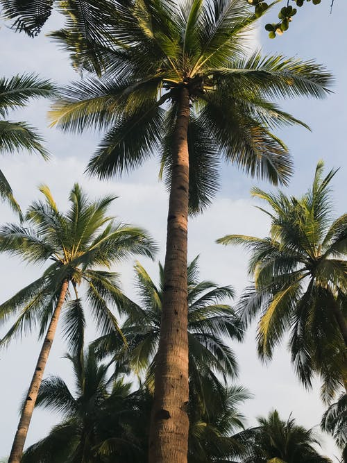 Бесплатное стоковое фото с деревья, дневной свет, кокосовые пальмы, окружающая среда