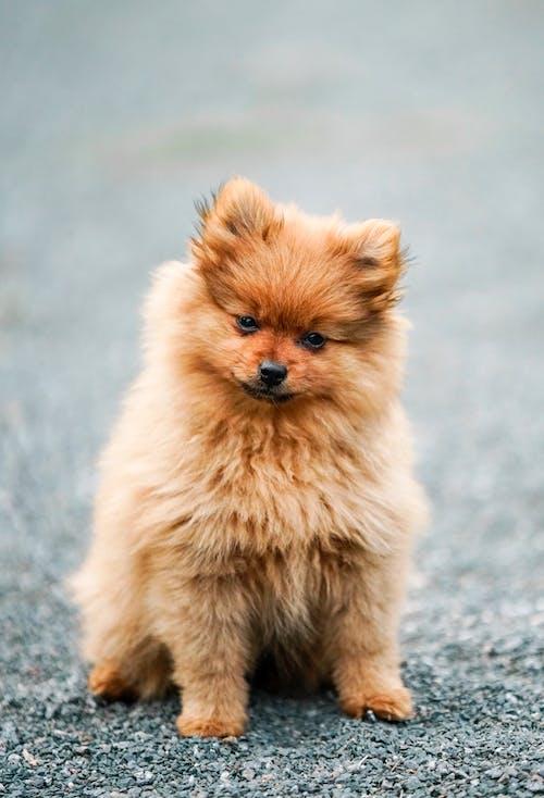 Brown Pomeranian Puppy on Grey Concrete Floor