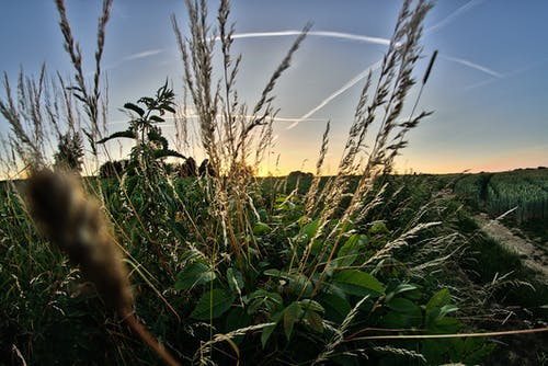Free stock photo of field, sunset, wheat