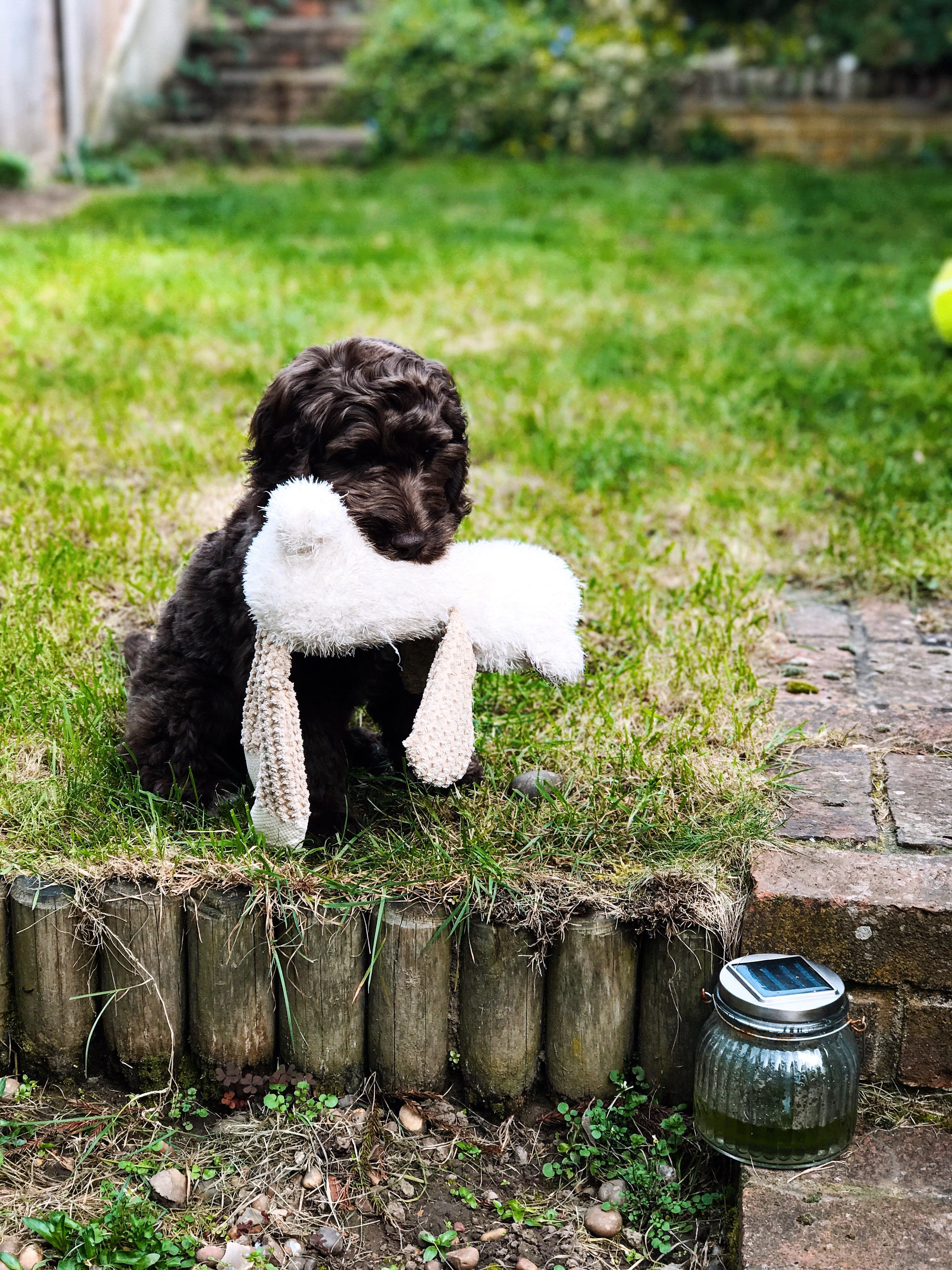 Free stock photo of cockapoo, dog, garden, grass