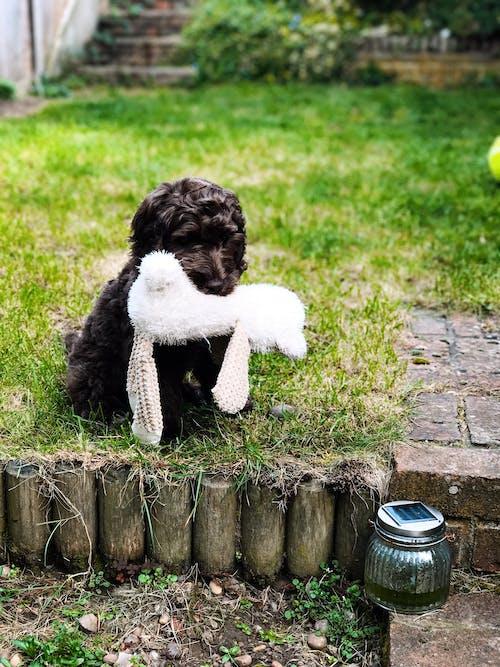 Gratis stockfoto met cockapoo, gras, hond