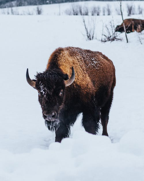 Photo Of Black Bison On Snow