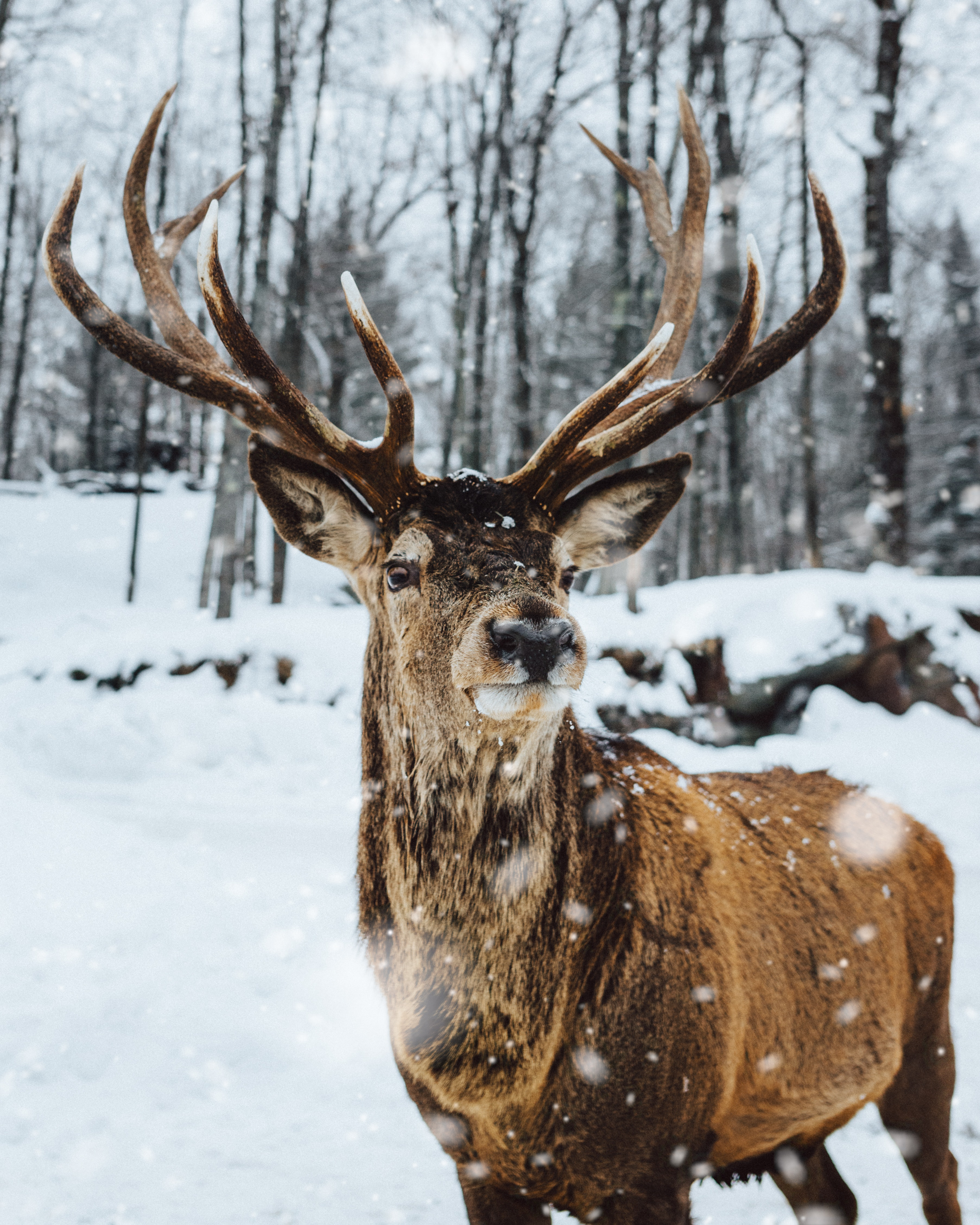 Photo Of Deer On Snow by Louis