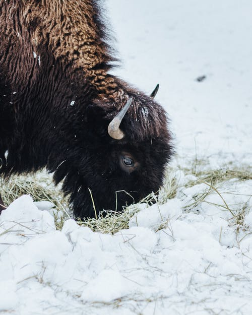 Black Bison on White Snow