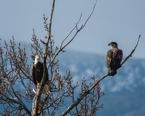 Photo of Eagles Perched on Tree Branches