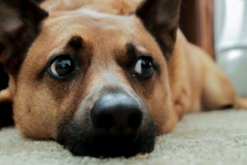 Free stock photo of animal lover, brown dog, dog