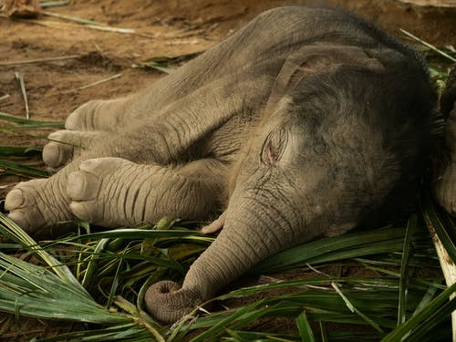 Photo of Baby Elephant Sleeping on the Ground