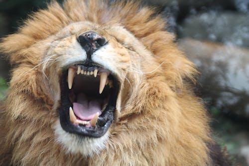Free stock photo of animal, lion
