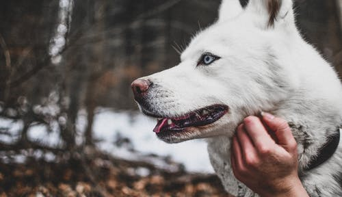 Photo of White Siberian Husky
