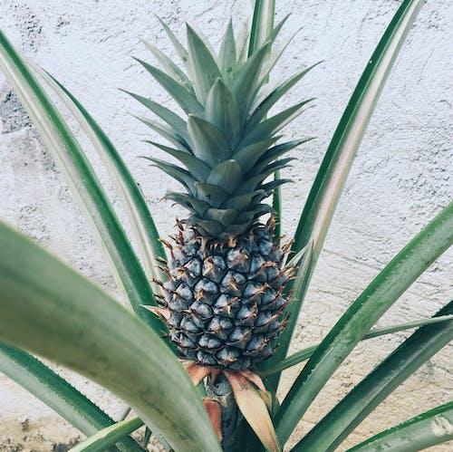 Free stock photo of fruit, pineapple