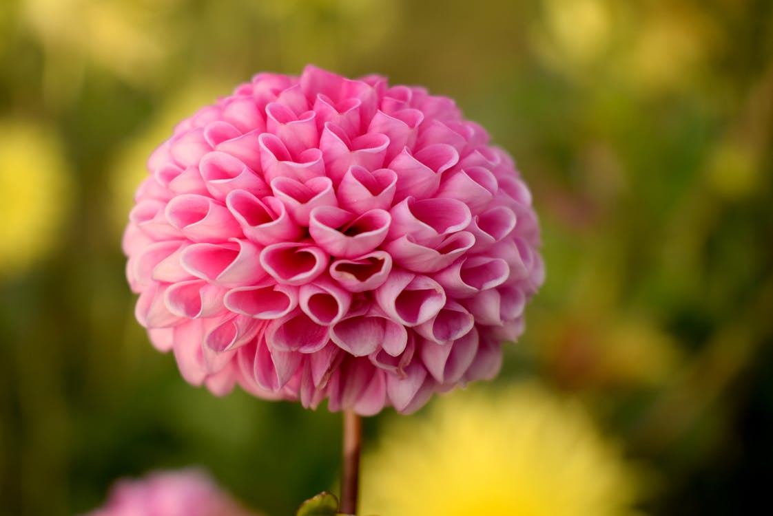 Pink Ball Dahlia Flower in Selective Focus Photography