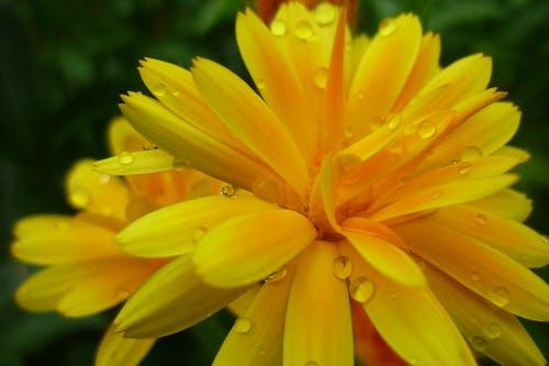 Free stock photo of dew, dewdrops, garden, marigold