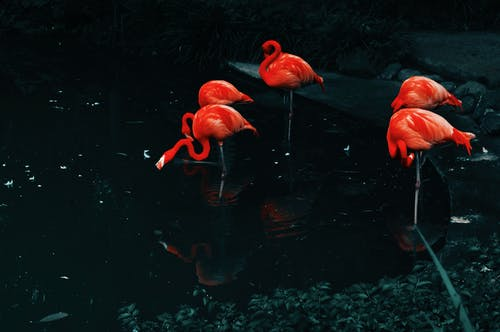 Orange Flamingos on Water