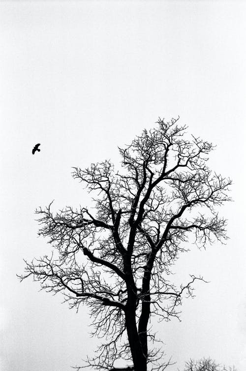 Black Bird Flying over Leafless Tree