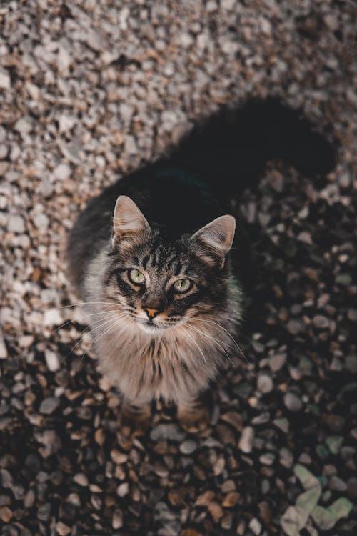 Graue Katze, Die Auf Weißen Kieselsteinen Sitzt