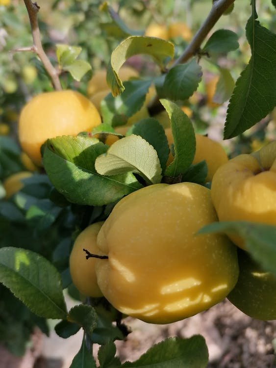 Ripe Quince On Green Leaves