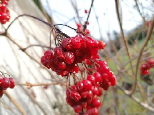 Free stock photo of berries, nature