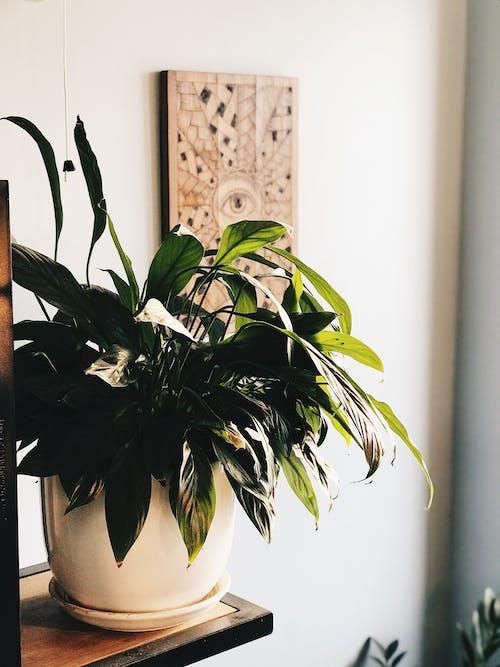 barış zambak, bitki saksısı, ev bitkisi, iç dekorasyon içeren Ücretsiz stok fotoğraf