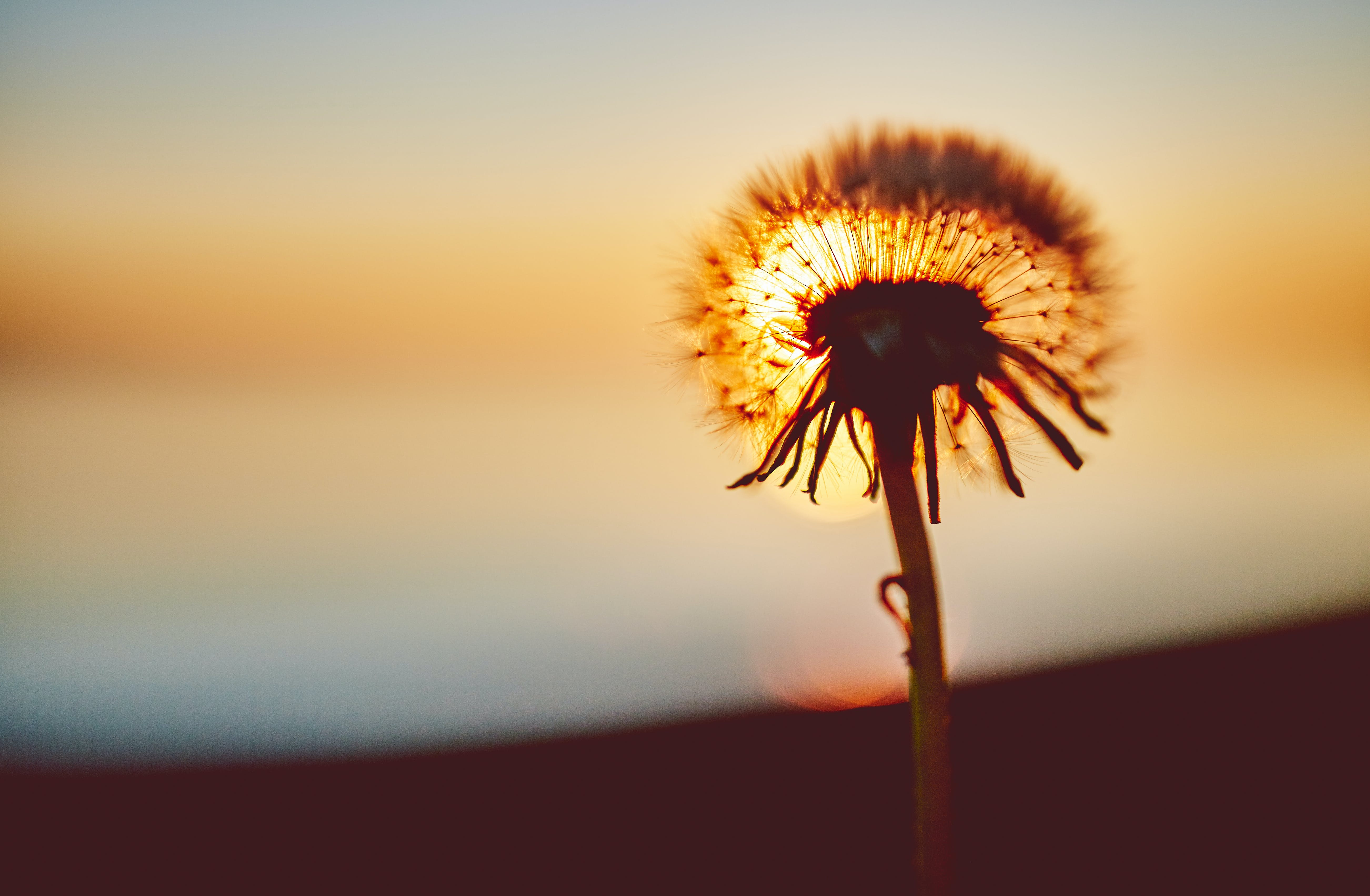 Dandelion Against the Sun Photography
