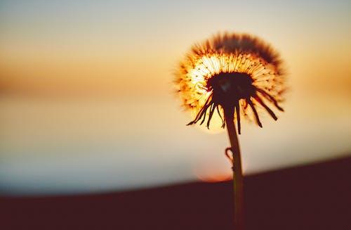 Photos gratuites de coucher de soleil, coucher du soleil, fleur, pissenlit
