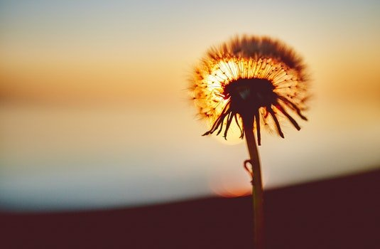 Free stock photo of sunset, flower, dandelion