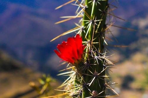 Free stock photo of cactus, cactus flower, peru, red flower