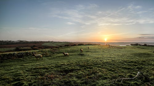 Herd of Sheep on Green Grass Field During Sunset