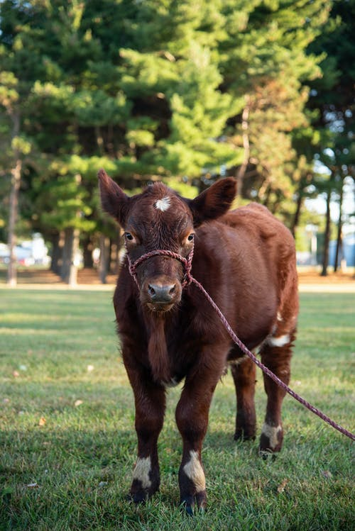 Brown Cow with Red Rope on Green Grass Field