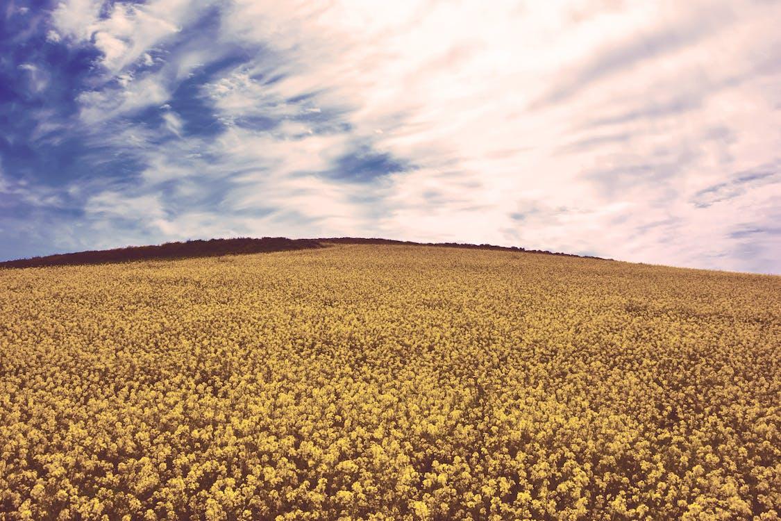 Arany, aratás, domb