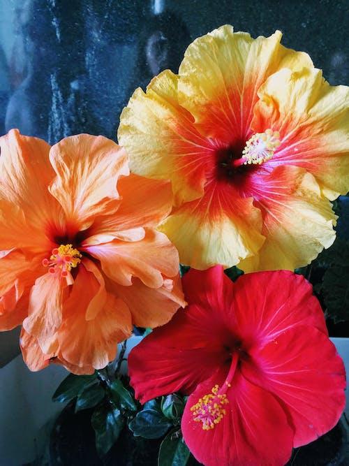 Fiore Di Ibisco Giallo E Rosso Sulla Scatola Della Pianta