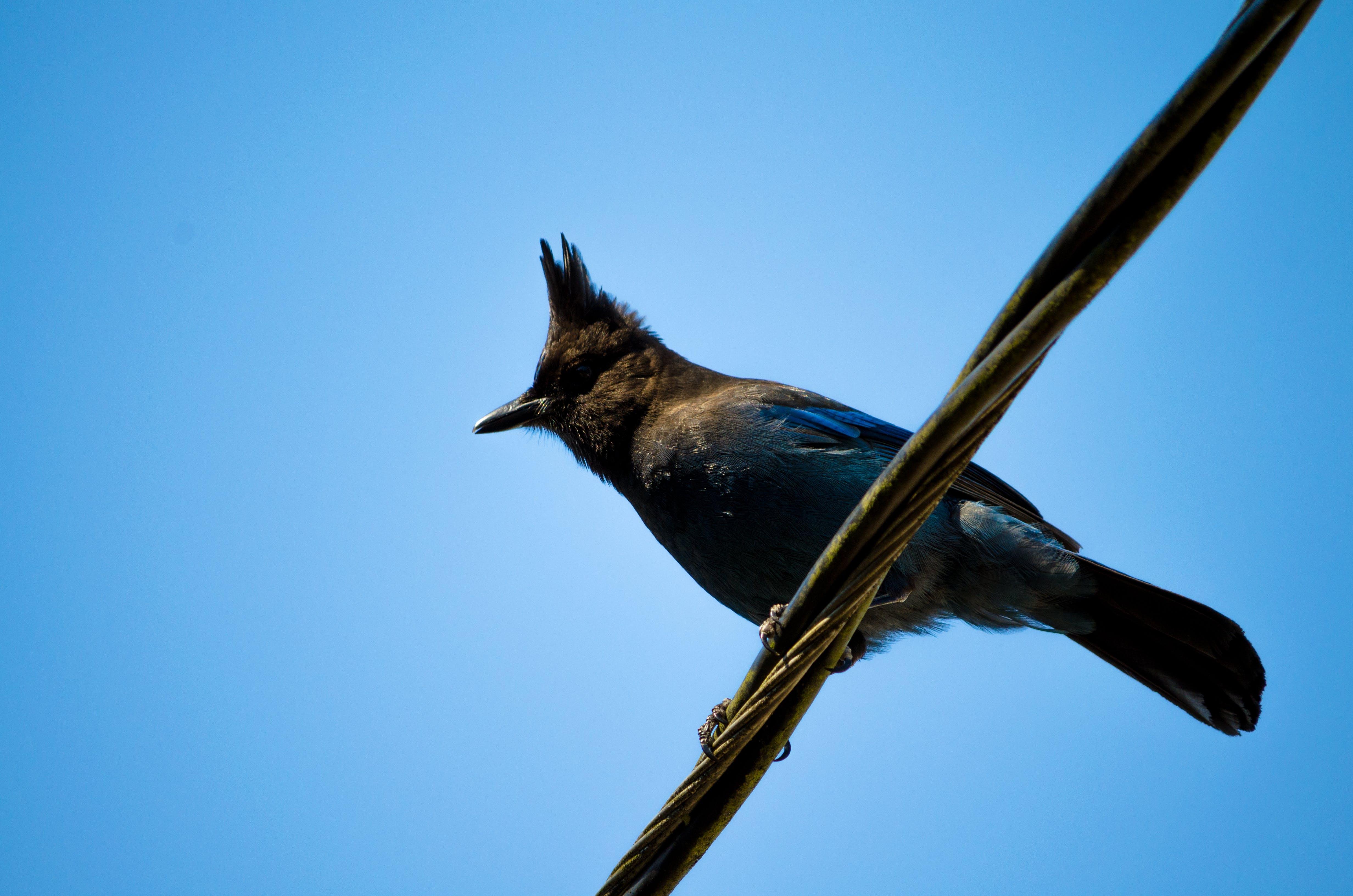 Free stock photo of bird, blue, blue jay, blue sky