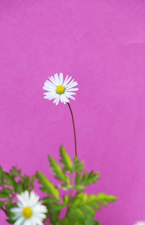 粉色背景白色雛菊花