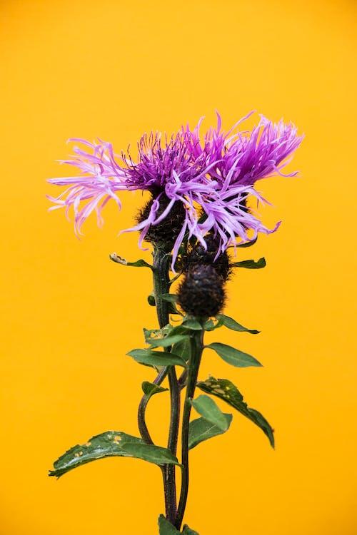 Kostnadsfri bild av blomning, disjunkta, fläckig knapweed