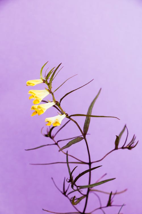 Yellow Bell Flowers on Purple Background