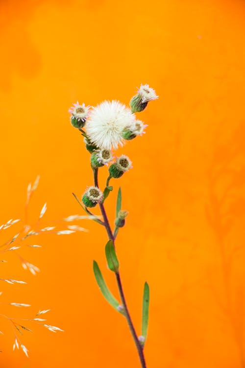 Dandelion Flower on Orange Background